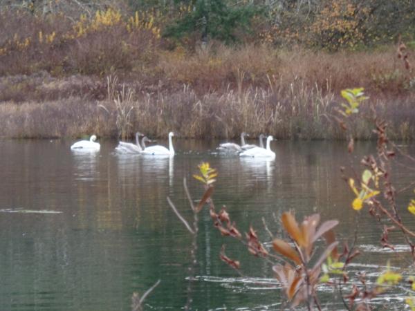 katou-and-swans-040
